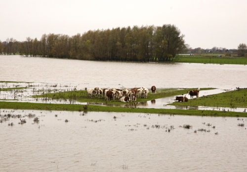 Cows surrounded by rising water of river Meuse, Poederoijen, Gelderland, Netherlands